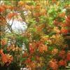 .copaci infloriti